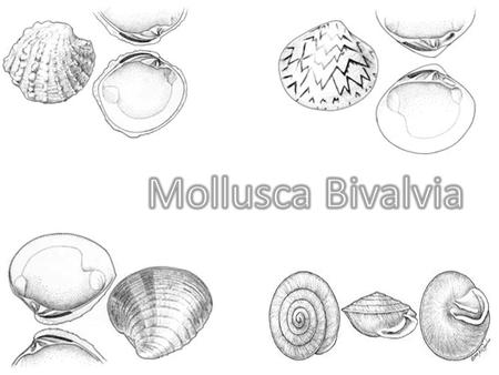 Class Bivalvia Formerly known as Pelecypoda There are more than 15 thousand species of: – Mussels – Oysters – Scallops – Clams – Numerous other families.