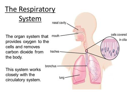 The Respiratory System The organ system that provides oxygen to the cells and removes carbon dioxide from the body. This system works closely with the.