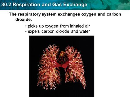The respiratory system exchanges oxygen and carbon dioxide.