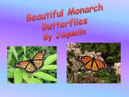 I think the monarch butterfly is beautiful. In this report I will tell you about a monarch butterfly. I will tell you what a monarch butterfly looks like,