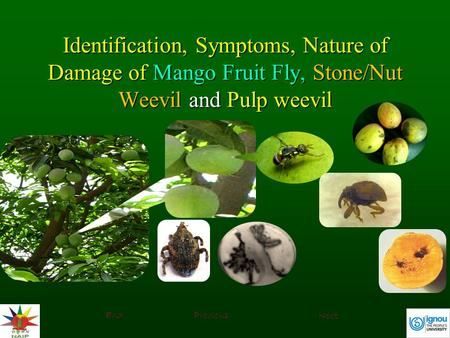 Identification, Symptoms, Nature of Damage of Mango Fruit Fly, Stone/Nut Weevil and Pulp weevil End Previous Next.