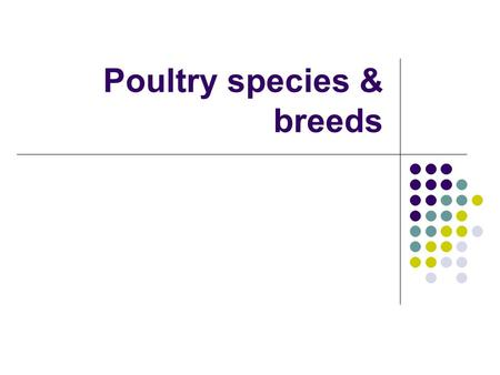 Poultry species & breeds White Leghorns White Leghorns White Lay white eggs Most popular layers.