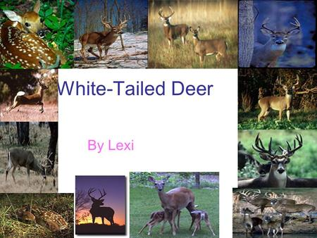 White-Tailed Deer By Lexi. What Do White-Tailed Deer Eat? White-tailed deer eat corn. They also eat nuts. And they eat fruit.
