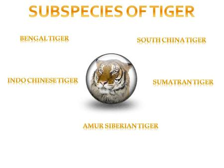 SUBSPECIES OF TIGER BENGAL TIGER SOUTH CHINA TIGER INDO CHINESE TIGER