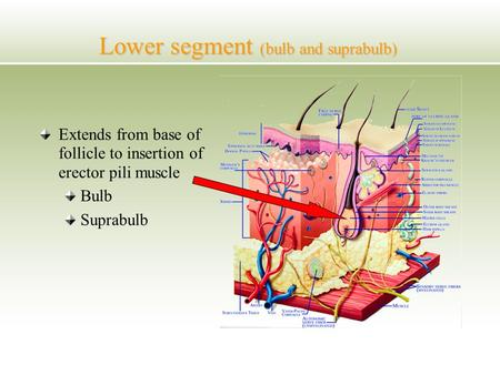 Lower segment (bulb and suprabulb) Extends from base of follicle to insertion of erector pili muscle Bulb Suprabulb.