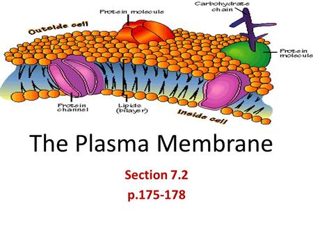The Plasma Membrane Section 7.2 p.175-178. Maintaining a Balance All living cells must maintain a balance regardless of internal + external conditions.