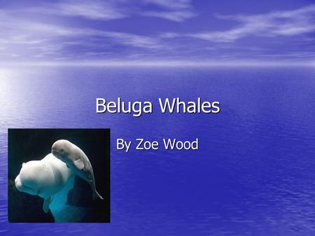 Beluga Whales By Zoe Wood. Color Beluga whales are gray when they're babies and white when they're adults. Beluga whales are gray when they're babies.