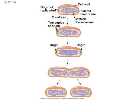 Fig. 12-11-4 Origin of replication Two copies of origin E. coli cell Bacterial chromosome Plasma membrane Cell wall Origin.