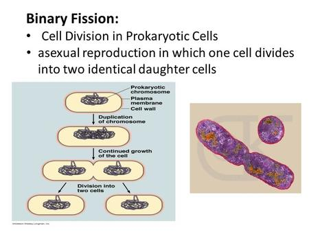 Binary Fission: Cell Division in Prokaryotic Cells