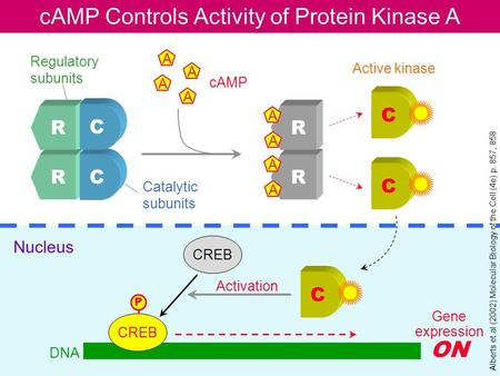 CAMP Controls Activity of Protein Kinase A R C R C R R A A A A A A A A C C Regulatory subunits Catalytic subunits cAMP Active kinase C CREB P Nucleus Activation.