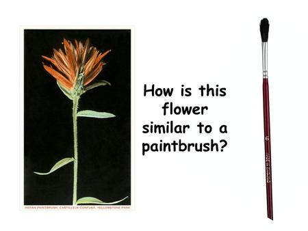 How is this flower similar to a paintbrush?. Read the book, The Legend of the Indian Paintbrush by Tomie Depaola Or Watch the version by Reading Rainbow.