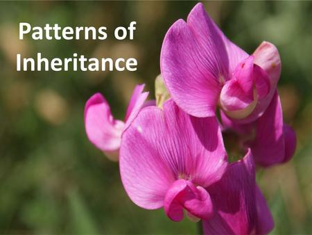 Patterns of Inheritance Inheritance Hypotheses Blending Hypothesis – parental contributions combined Particulate Hypothesis – parents pass along discrete.