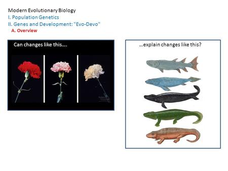 Modern Evolutionary Biology I. Population Genetics II. Genes and Development: Evo-Devo A. Overview Can changes like this….…explain changes like this?