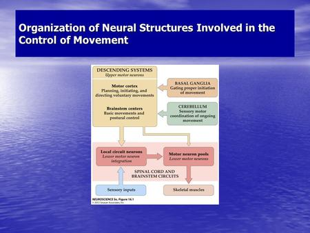 Organization of Neural Structures Involved in the Control of Movement.