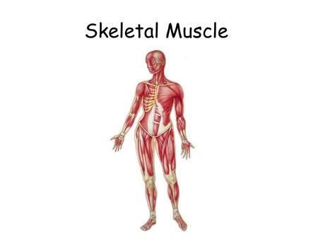 Skeletal Muscle.