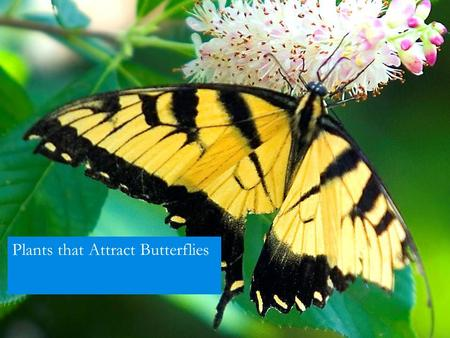 Plants that Attract Butterflies. You will attract more than butterflies....