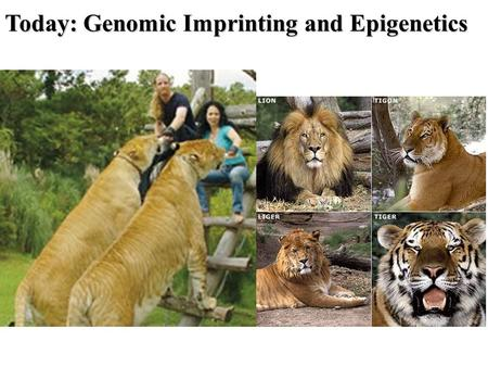Today: Genomic Imprinting and Epigenetics. haploid diploid X 23 in humans X 23 in humans X 23 in humans Inheritance = The interaction between genes inherited.