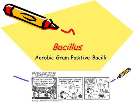 BacillusBacillus Aerobic Gram-Positive Bacilli. Bacillus Large, G(+) rods, square cut ends Saprophyte in nature; soil, dust Aerobic, facultative anaerobic.