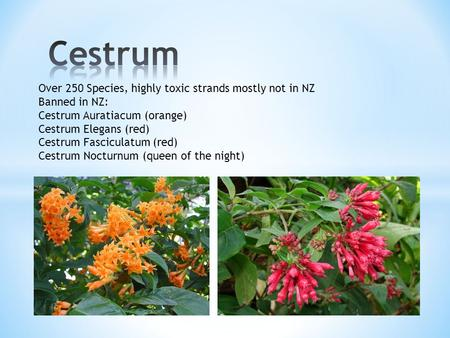 Over 250 Species, highly toxic strands mostly not in NZ Banned in NZ: Cestrum Auratiacum (orange) Cestrum Elegans (red) Cestrum Fasciculatum (red) Cestrum.