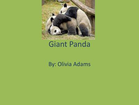 Giant Panda By: Olivia Adams. Classification and Description Alluropoda Meianoieuca Mammal, ulsidas Blind at birth, weighs 3-5 Oz 2 meters (6ft)