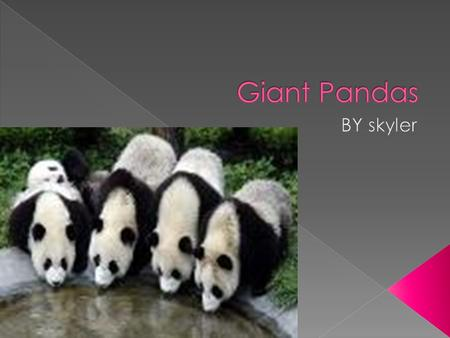 Giant Pandas BY skyler.