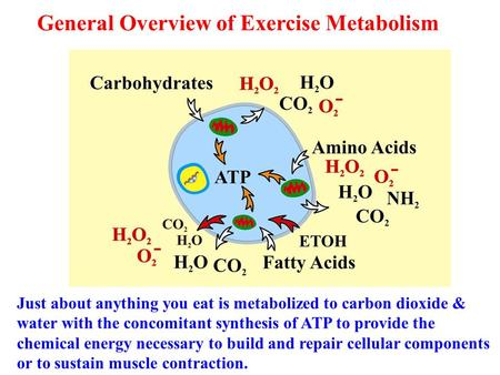 General Overview of Exercise Metabolism Just about anything you eat is metabolized to carbon dioxide & water with the concomitant synthesis of ATP to provide.