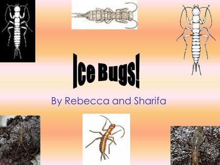 By Rebecca and Sharifa.. Ice bugs are found on top of cold mountains, in some forests and sometimes in caves near snowfields. They live at levels of 656.