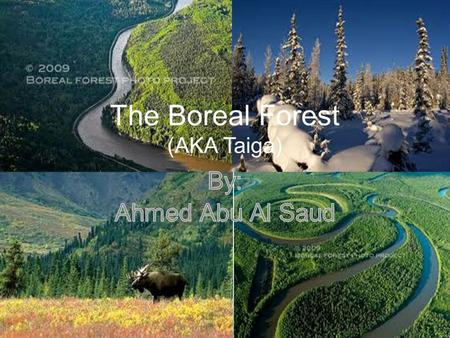 The Boreal Forest (AKA Taiga)