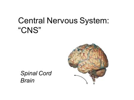 "Central Nervous <strong>System</strong>: ""CNS"" Spinal Cord Brain. The Spinal Cord  Foramen magnum to L1 or L2  Runs through the vertebral canal of the vertebral column."