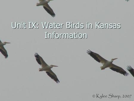 Unit IX: Water Birds in Kansas Information. American Coot.