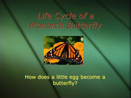 Life Cycle of a Monarch Butterfly How does a little egg become a butterfly?