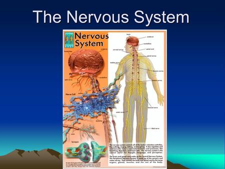 The Nervous System. Introduction In all animals, except the sponges, responses to stimuli depend on the activities of networks of nerve cell, or neurons.