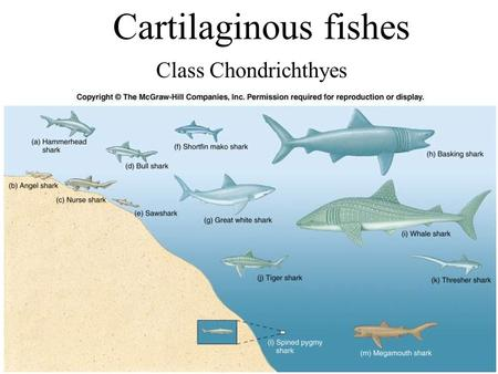 Cartilaginous fishes Class Chondrichthyes. Marine Fishes Class Chondrichthyes – Cartilaginous fishes; with about 1000 different species, they include.
