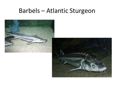 Barbels – Atlantic Sturgeon. Marine Fishes – Sensory System (cont.) Finally, many fish have a lateral line that allows them to sense vibrations in the.