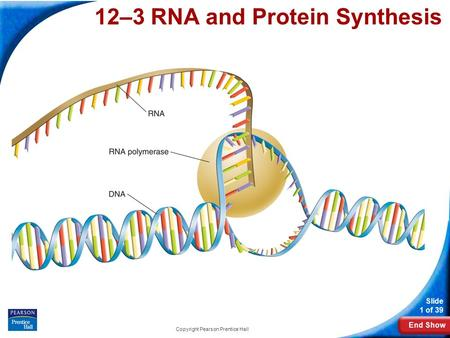End Show Slide 1 of 39 Copyright Pearson Prentice Hall 12-3 RNA and Protein Synthesis 12–3 RNA and Protein Synthesis.