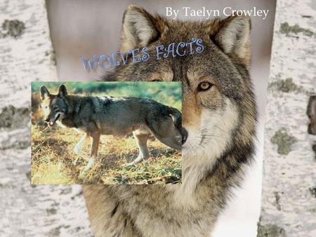 By Taelyn Crowley. Here are a few facts about wolf food. A wolf likes a cool drink from the river. On page. 28 of a book it says wolves bury the food.