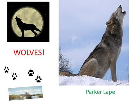 WOLVES! Parker Lape. Animal Defenses Wolves use their claws,whiskers, sharp teeth and they growl. Their enemies are lions and cobras. People also use.