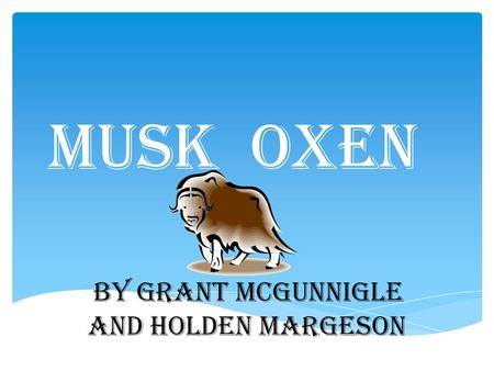 Musk oxen By Grant mcgunnigle and Holden margeson.