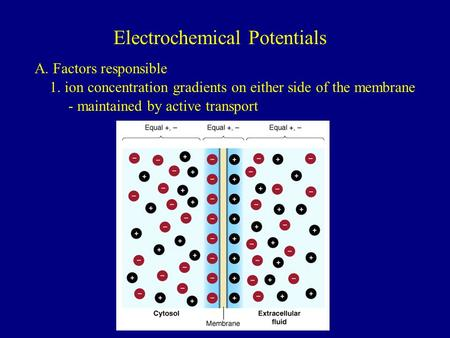Electrochemical Potentials A. Factors responsible 1. ion concentration gradients on either side of the membrane - maintained by active transport.