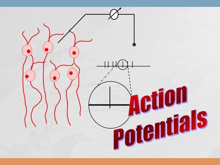 Action Potentials.