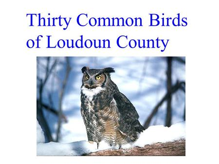 Thirty Common Birds of Loudoun County. Downy Woodpecker Smallest Va. wodpecker. Shorter beak then similar Hairy woodpecker.
