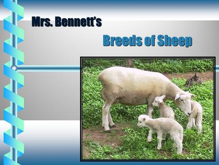 Mrs. Bennett's Breeds of Sheep.