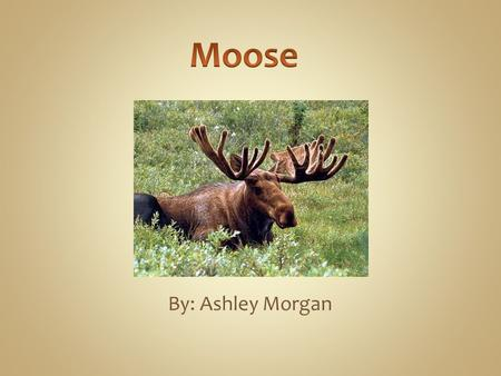 By: Ashley Morgan. An moose is the largest species of the deer family. In Europe they are more commonly known as Elk. Moose were successfully introduced.