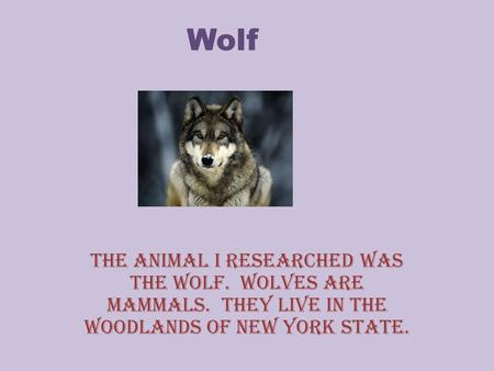 Wolf The animal I researched was the wolf. Wolves are mammals. They live in the woodlands of new york state.