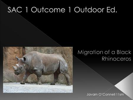 Javarn O'Connell 11sm. *An adult Black Rhinoceros is 140–170 cm high at its shoulder and is 3.3–3.6 m in length. An adult weighs from 800 to 1,400 kg.