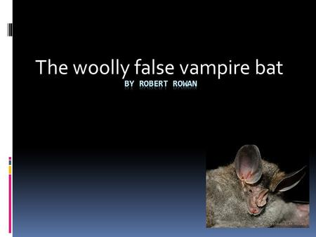 The woolly false vampire bat. Appearance The wooly false vampire bat is a mega bat it has big ears, rhino like nose and brownish/grayish fur color.