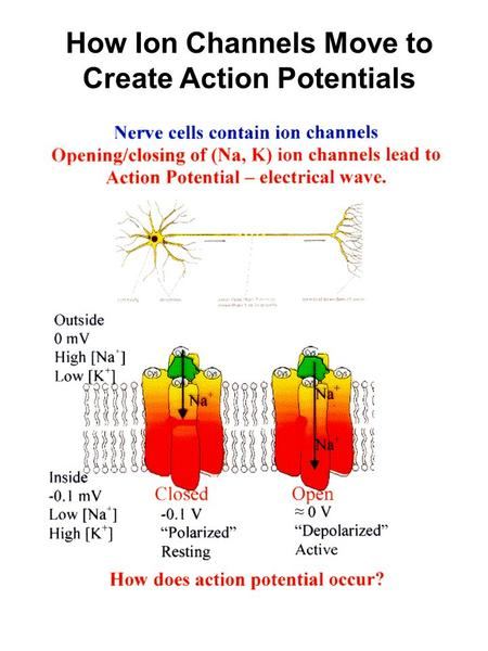 How Ion Channels Move to Create Action Potentials.