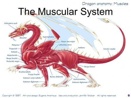 The Muscular System. Muscle tissue found everywhere in the body.