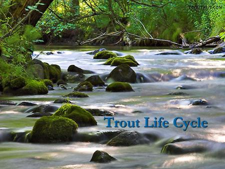 Trout Life Cycle. Egg The egg is the first step in the life cycle of the trout.