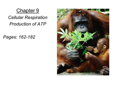 Chapter 9 Cellular Respiration Production of ATP Pages: 162-182.